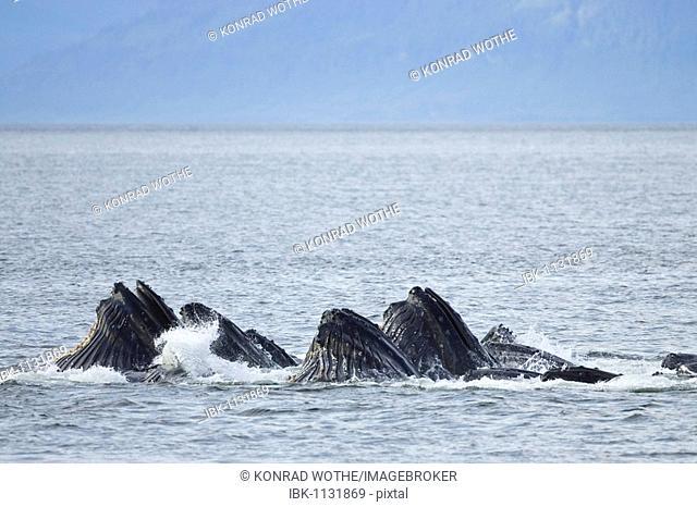 Humpack Whales bubble net feeding, (Megaptera novaeanglia), Baleen Whales, Inside Passage, Alaska, USA
