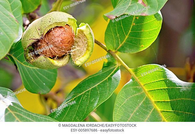 ripe walnut in opened shell closeup in tree