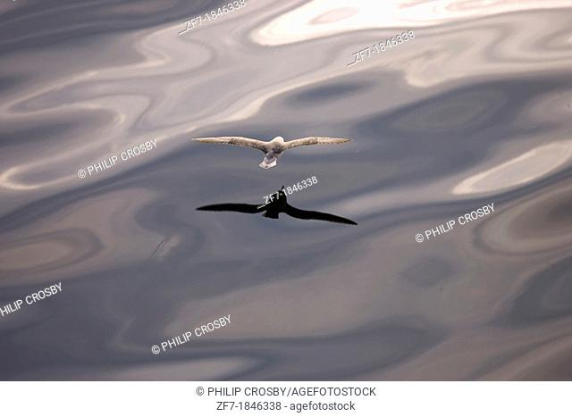 Northern Fulmar Fulmarus glacialis at sea offshore from Svalbard Spitsbergen in the Norwegian Arctic