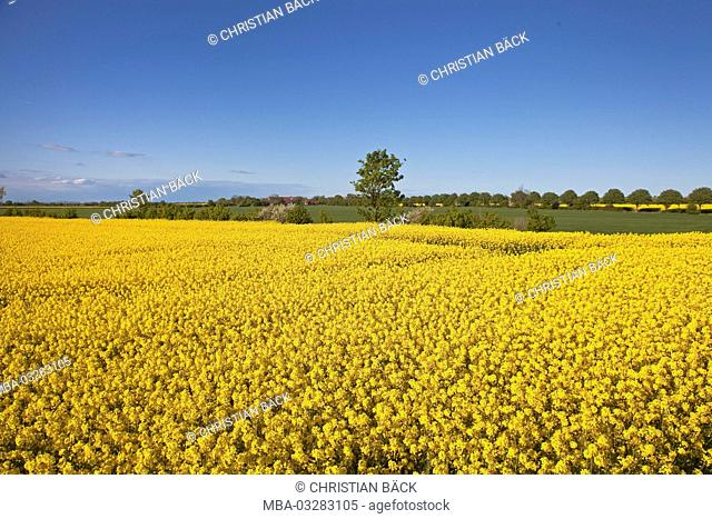Rape blossom on the island Fehmarn, Schleswig-Holstein, North Germany, Germany