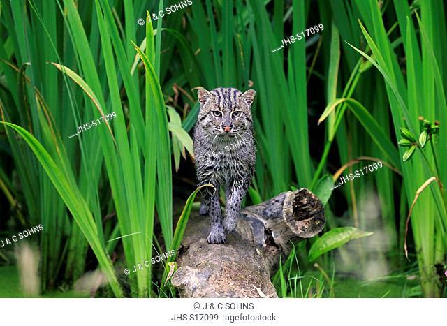 Fishing Cat, (Prionailurus viverrinus), adult at water stalking, Asia