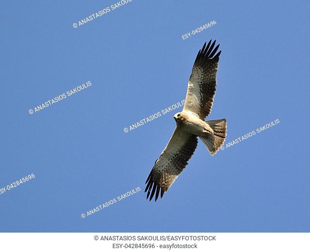 Booted eagle (Aquila pennata), Greece