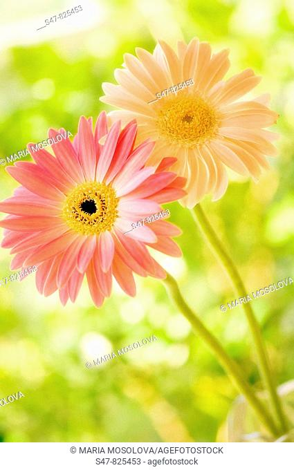 Two Gerbera Flowers. Gerbera jamesonii