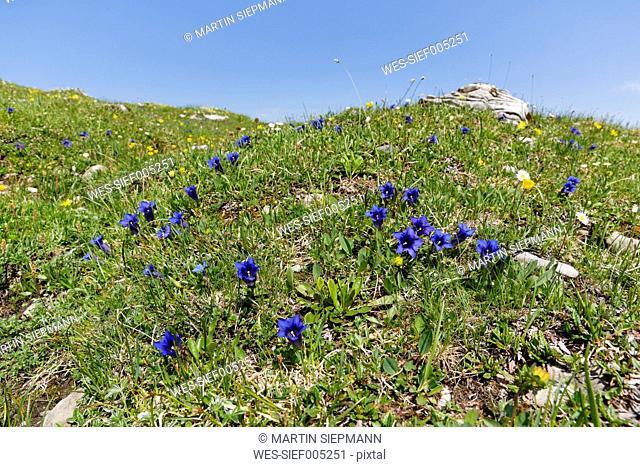 Austria, Vorarlberg, Biosphere Reserve Grosses Walsertal, Stemless Gentian, Gentiana acaulis