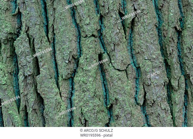 Pedunculate, Oak, bark, Germany, Quercus, robur