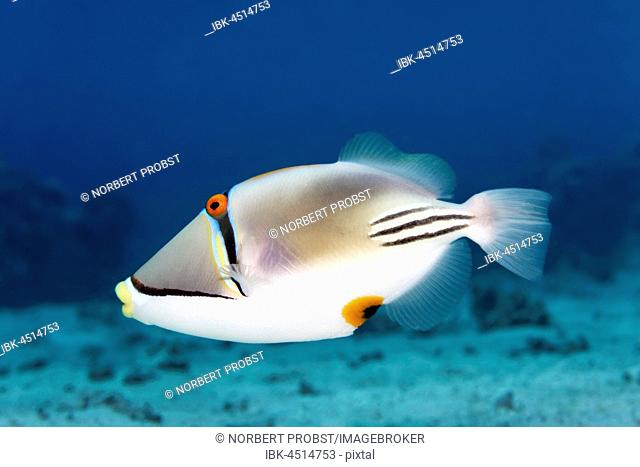 Arabian Picasso triggerfish (Rhinecanthus assasi), Red Sea, Egypt