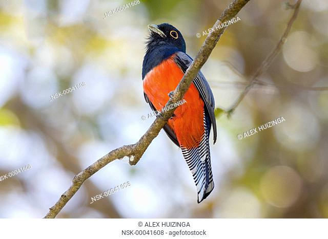 Blue-crowned Trogon (Trogon curucui) male perched on branch, Brazil, Mato Grosso, Pantanal