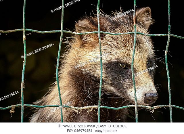 Asiatic raccoon (Nyctereutes Procyonoides) looking through the cage. Horizontal image