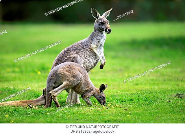 Red Kangaroo, (Macropus rufus), adult female with subadult feeding, South Australia, Australlia