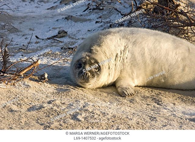 baby Grey seal Halichoerus grypus on island Helgoland 'Duene' in winter, North Sea, Germany