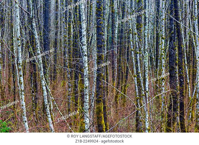 Thick forest of deciduous trees in springtime