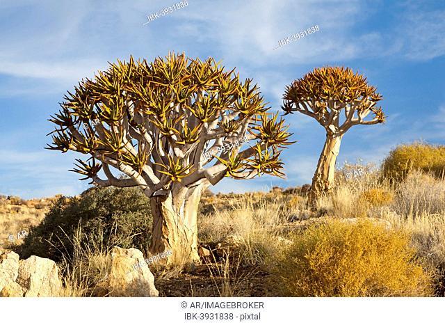 Quiver Trees (Aloe dichotoma), ?Namib-Naukluft National Park ?, Namibia