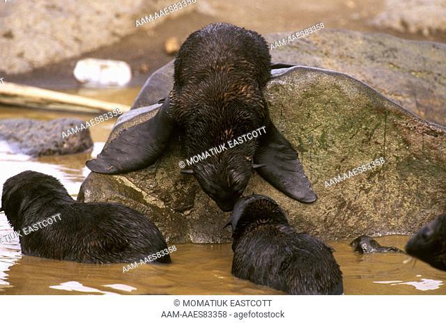 N. Fur Seal Pups frolicking in Tidal Pool (Callorhinus ursinus), St. Paul Is., Pribilofs, Alaska