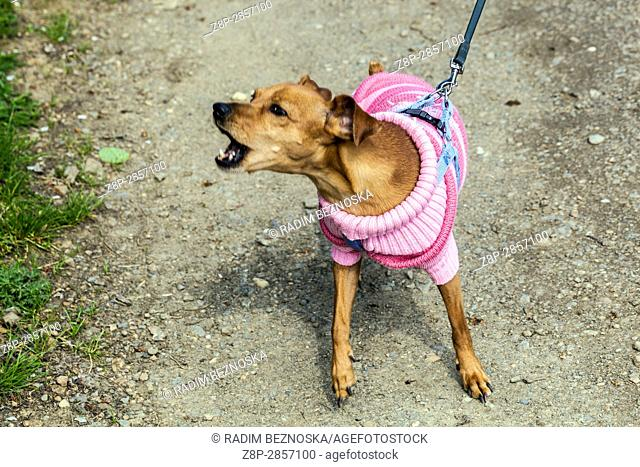 An angry dog on a leash in a pink suit