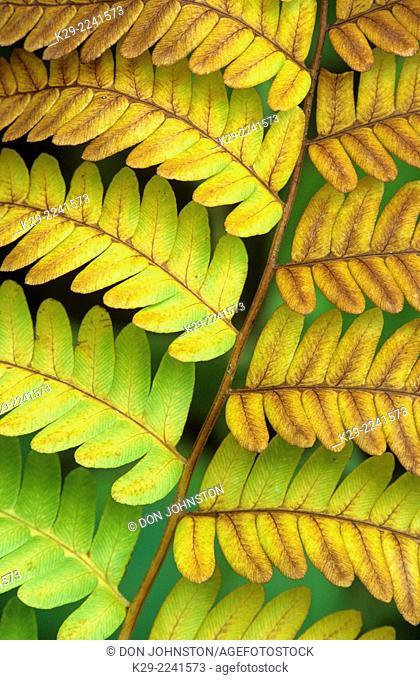 Hay scented Fern (Dennstaedtia punctilobula) Autumn colony, Greater Sudbury, Ontario, Canada