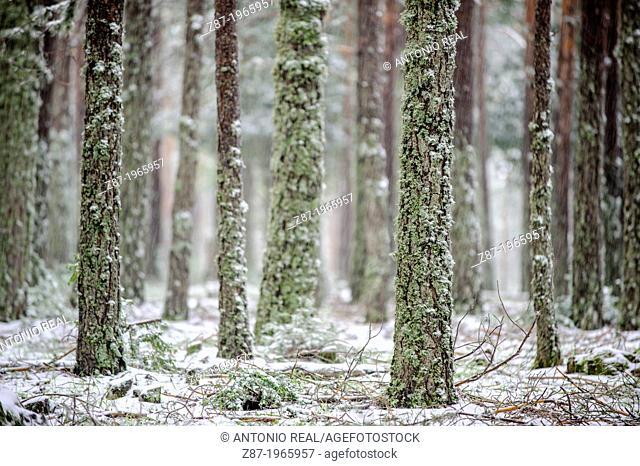 Snow covered Scots Pines (Pinus silvestris). Parque Natural de la Serranía de Cuenca. Province of Cuenca. Spain