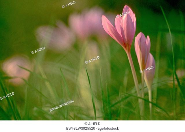 meadow saffron Colchicum autumnale, several blossoms in a meadow