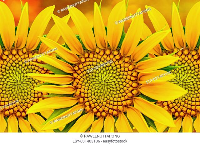Beautyful sunflower closeup on yellow nature background