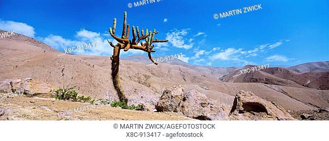 Candleholder cactus Browningia candelabris in the mountain desert of the chilean Precordillera, sometimes part of the Atacama desert  This cactus is growing...