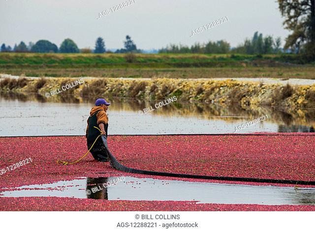 Harvesting cranberries; Pitt Meadows, British Columbia, Canada
