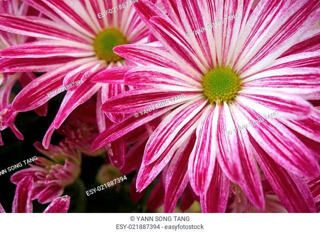 Purple daisy flower blossom