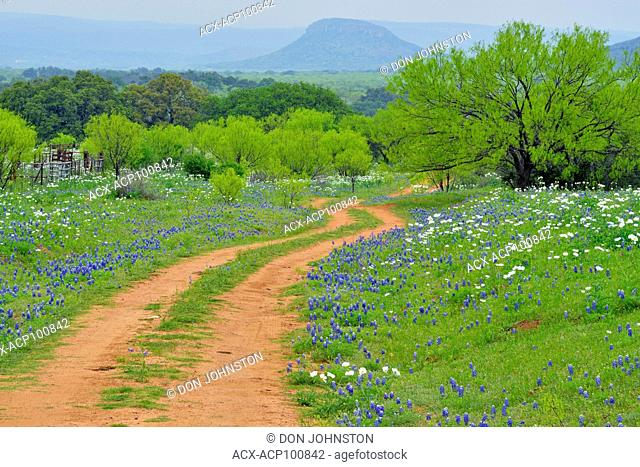 Texas bluebonnets and prickly poppies flowering along a country road, with spring mesquite trees, Willow City, Gillespie County, Texas, USA