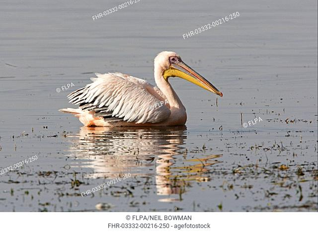 Great White Pelican Pelecanus onocrotalus adult, breeding plumage, swimming, Lake Awassa, Great Rift Valley, Ethiopia, april