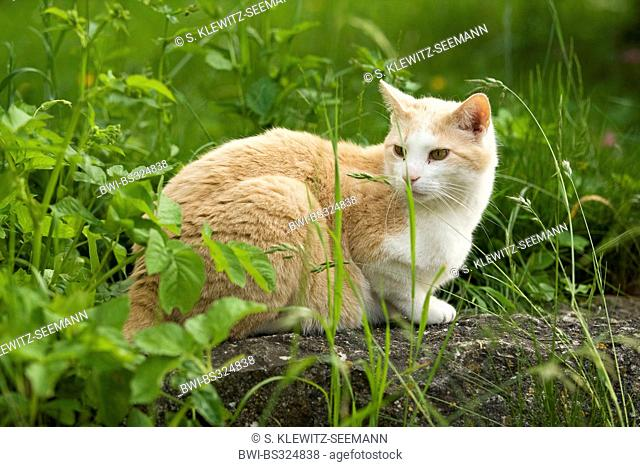 domestic cat, house cat (Felis silvestris f. catus), sitting on a rock in a meadow, Germany