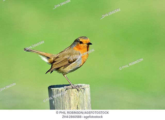 European Robin (Erithacus rubecula) sitting on a fence post. Kent, April