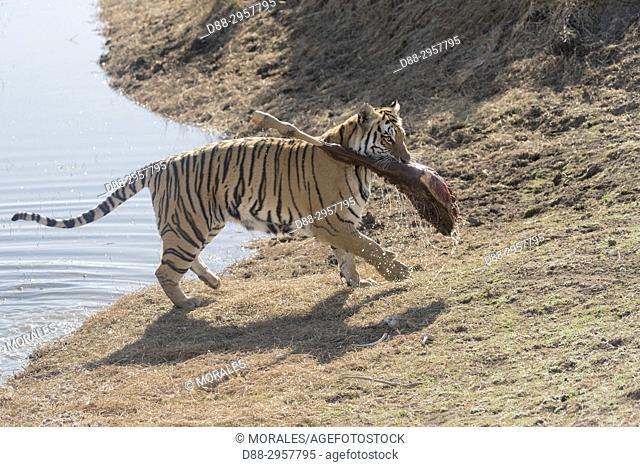 South Africa, Private reserve, Asian (Bengal) Tiger (Panthera tigris tigris), with a prey