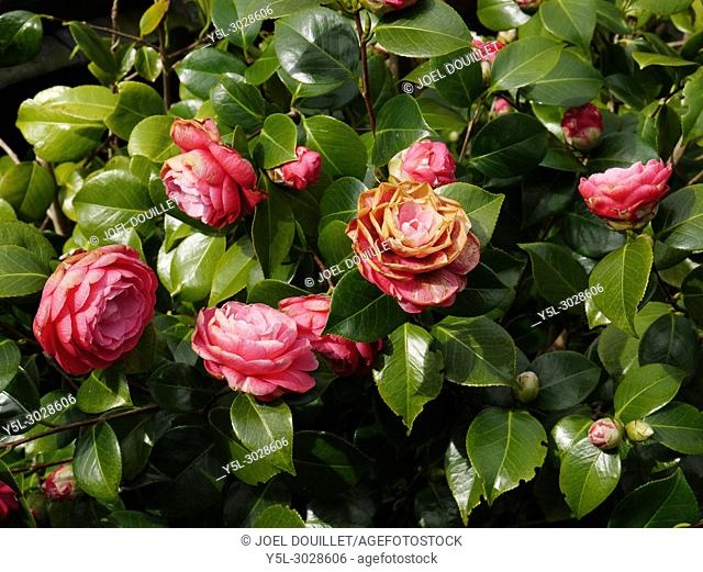 Camelia in bloom (Suzanne's vegetable garden, Le Pas, Mayenne, Pays de la Loire, France)