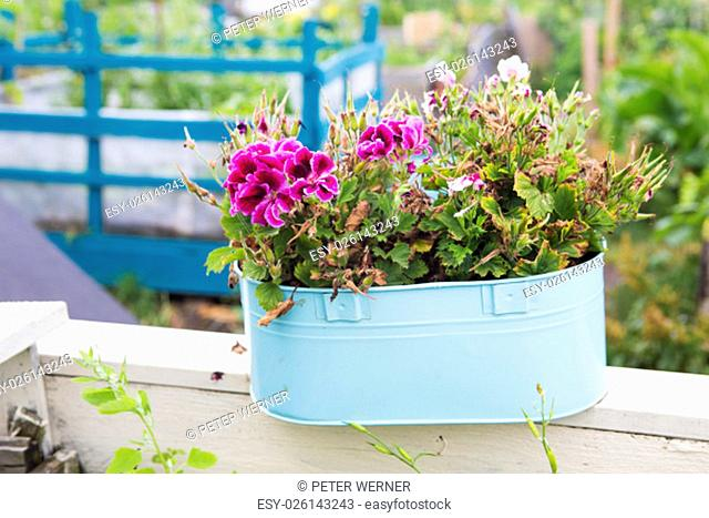 pink flowers in a blue pot in a garden