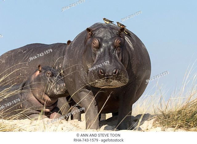 Hippos (Hippopotamus amphibius) with redbilled oxpeckers (Buphagus erythrorhynchus), Chobe National Park, Botswana, Africa
