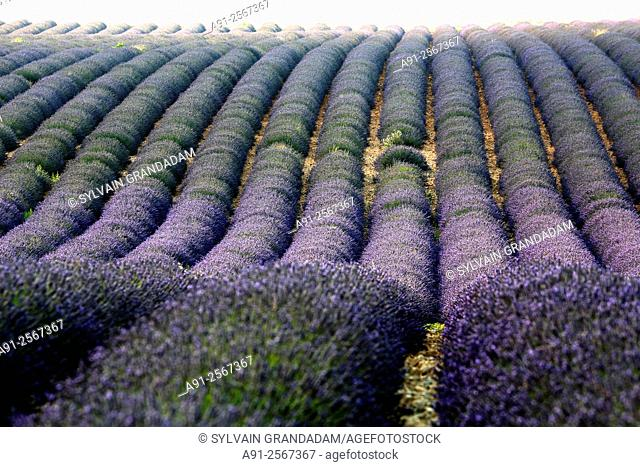France, Provence, Alpes de Haute-Provence (04), Valensole Plateau, Valensole during the july lavander festival after completion of the crop, lavender fields