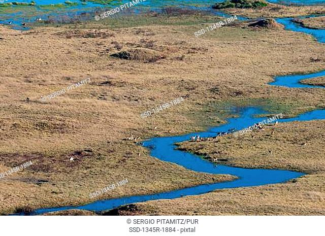 Group of Red Lechwes on a delta, Okavango Delta, Botswana