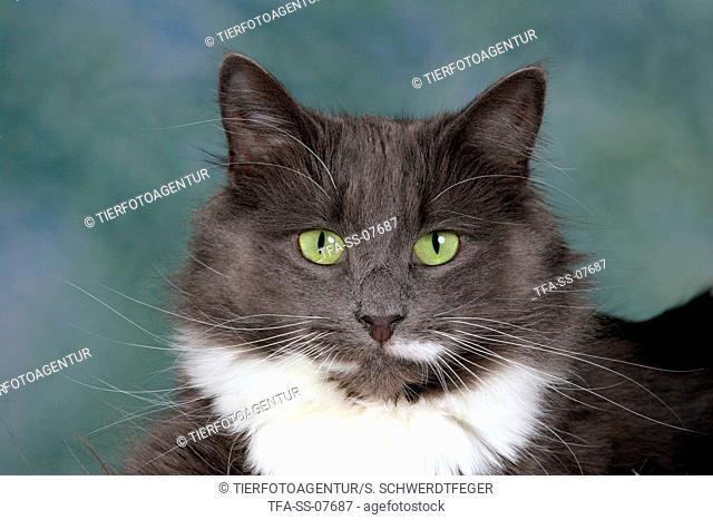 Norwegian Forest Cat Portrait