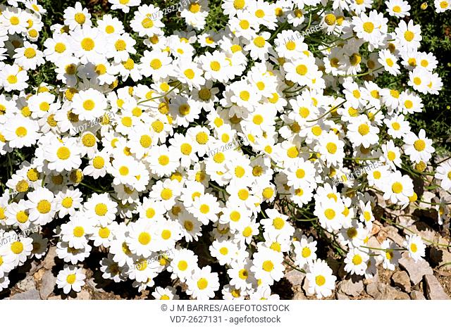 Seaside chamomile (Anthemis maritima) is a perennial and aromatic herb native to the western Mediterranean basin. Angiosperms. Asteraceae