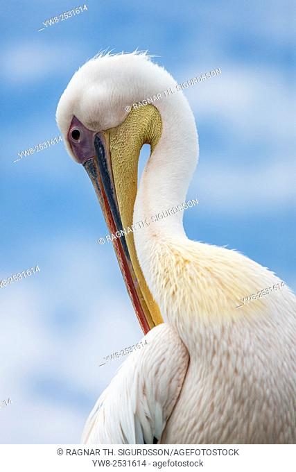 Pelican in Walvis Bay, Namibia, Iceland