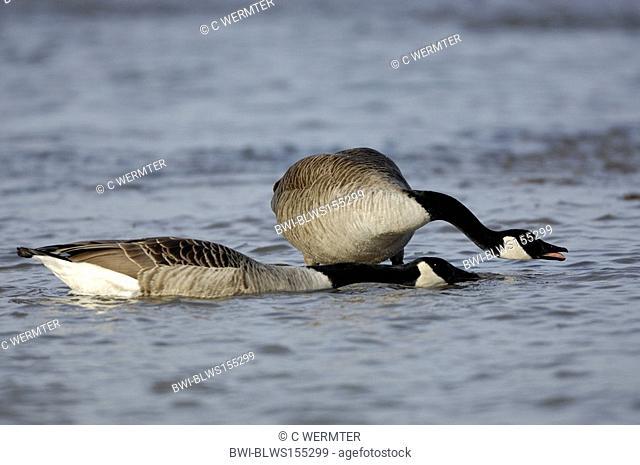 Canada goose Branta canadensis, couple showing denfence posture, Germany, North Rhine-Westphalia