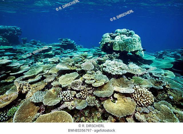 Table Coral (Acropora spec.), Table Corals growing at Reef, Maldives