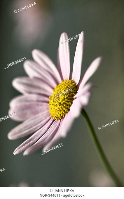 A flower with pink petals and yellow centre