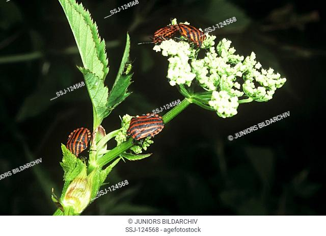 shield bugs on flower - Graphosoma lineatum