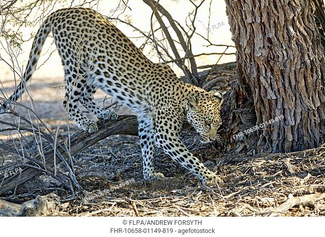 African Leopard (Panthera pardus pardus) adult female, scraping latrine area, Kalahari Gemsbok N.P., Kgalagadi Transfrontier Park, Northern Cape, South Africa