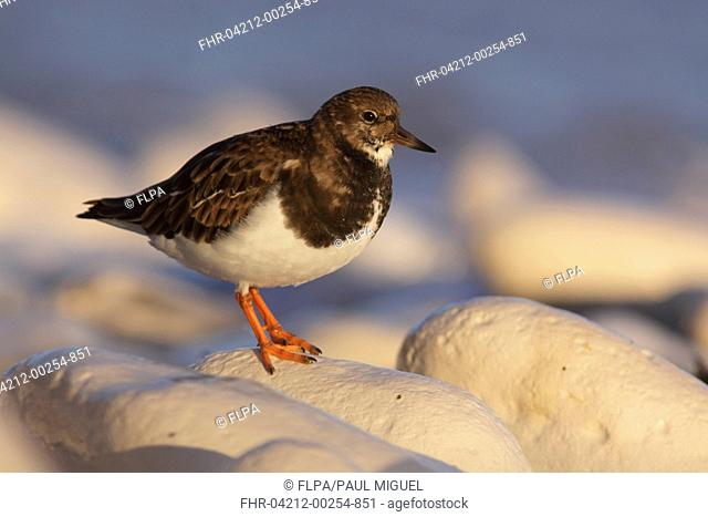 Ruddy Turnstone (Arenaria interpres) adult, non-breeding plumage, standing on rocky beach, East Yorkshire, England, December