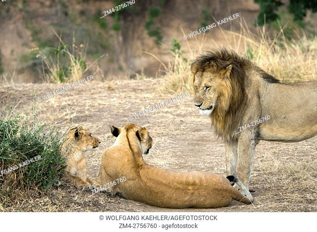 A male lion (Panthera leo) and lioness in the Masai Mara National Reserve in Kenya