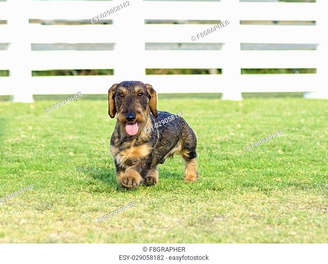 A young beautiful dapple black and tan Wirehaired Dachshund walking on the grass. The little hotdog dog is distinctive for being short legged with a long body