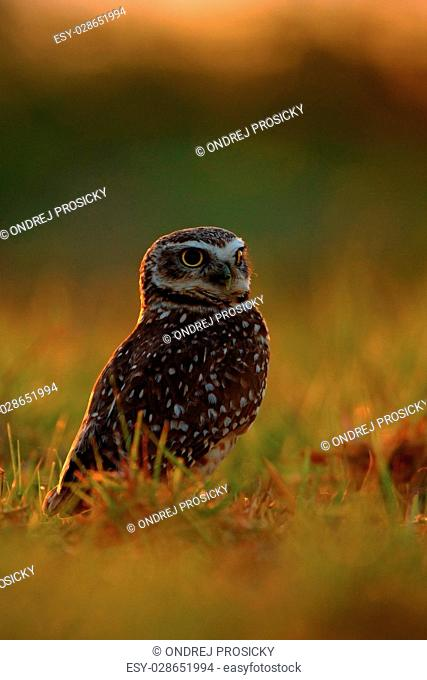 Burrowing Owl, Athene cunicularia, night bird with beautiful eve