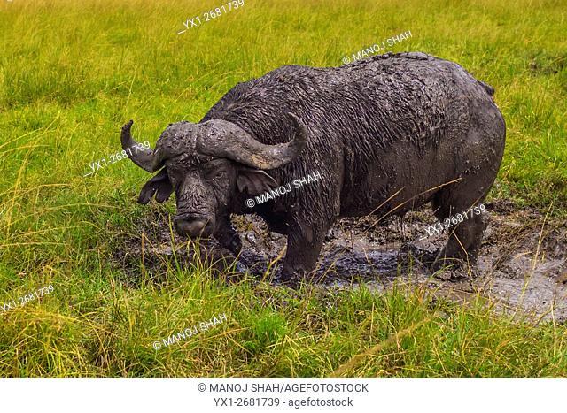 African Buffalo having a mud bath, Masai Mara National Reserve, Kenya