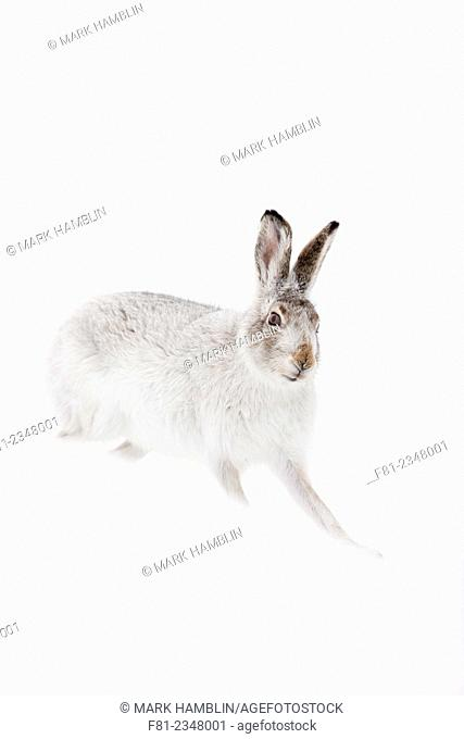 Mountain Hare (Lepus timidus) in white winter coat standing on snow