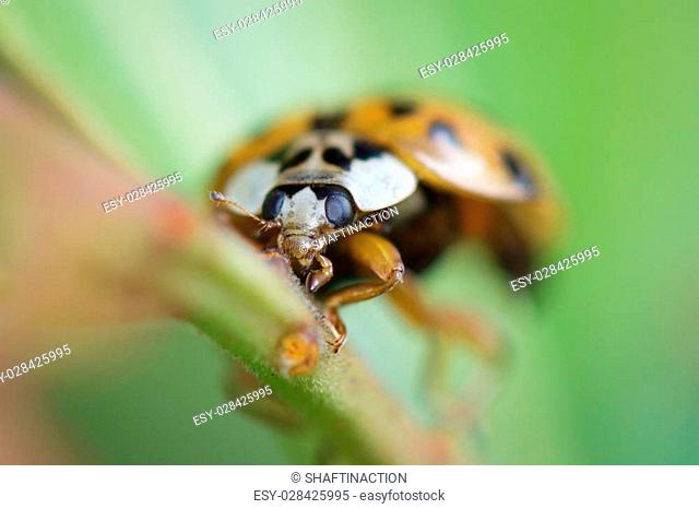 A Harlequin Ladybird on a single stem facing forwards